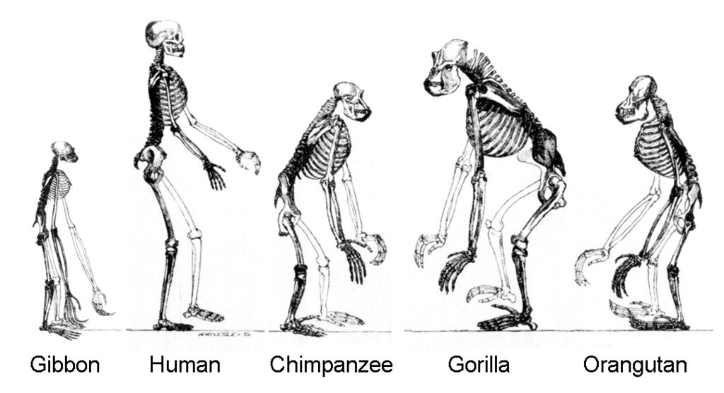 skeletons of great apes - gibbon, human, chimpanzee, gorilla, orangutan