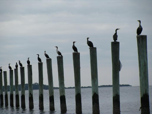 seabirds standing in formation one on each wooden   pole