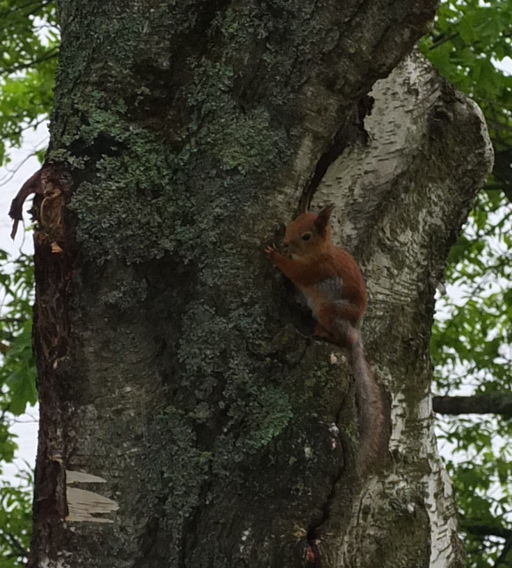zoom in on red squirrel holding onto the trunk of a tree