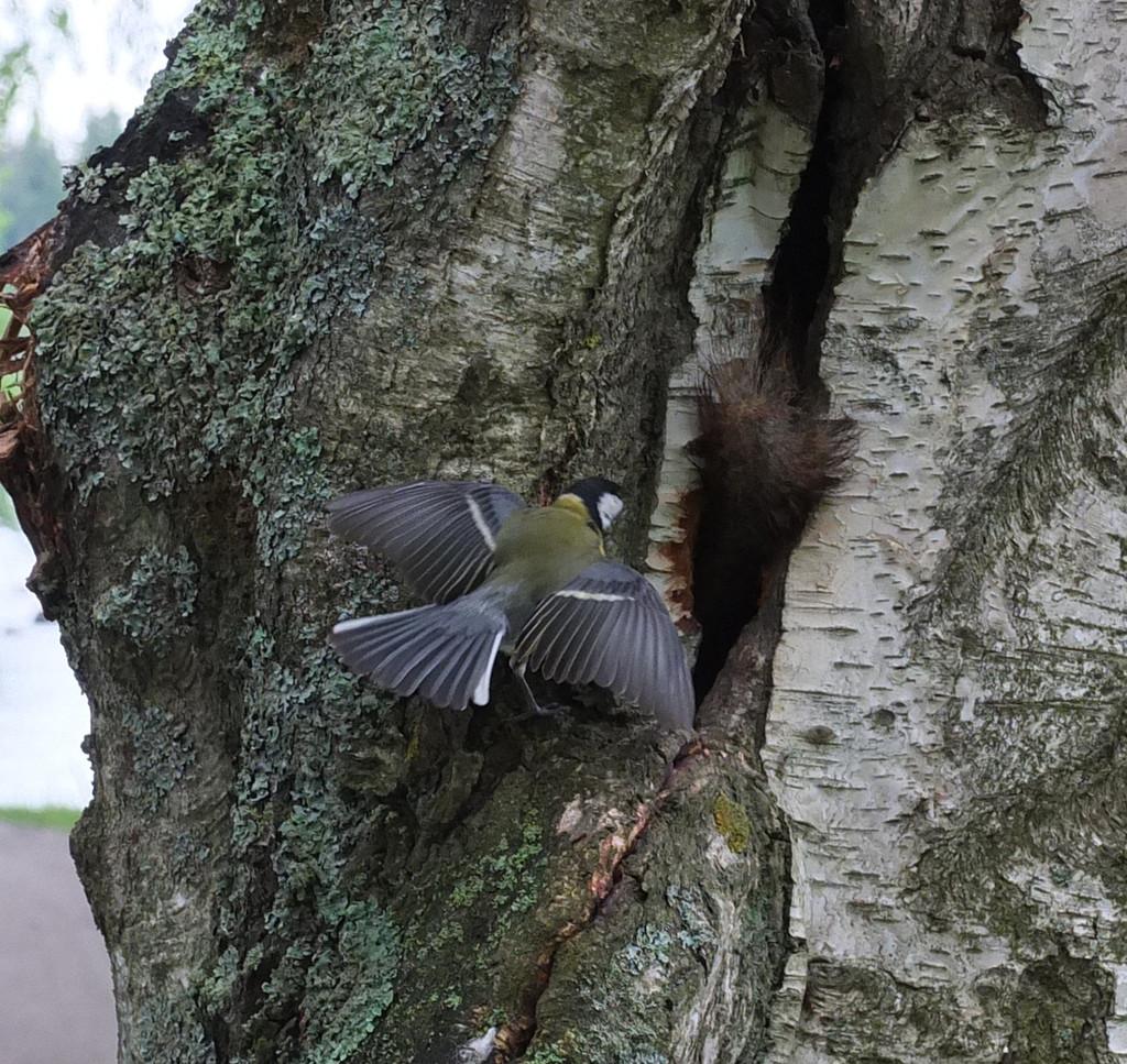 Bird, wing spread, near entrance to hole in trunk.
